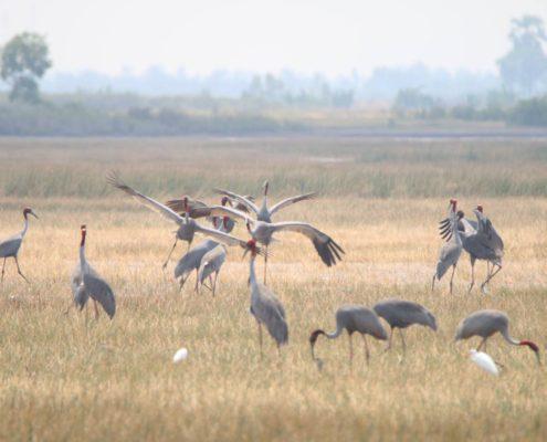 Anlung Pring Community Led Ecotourism - Sarus Crane