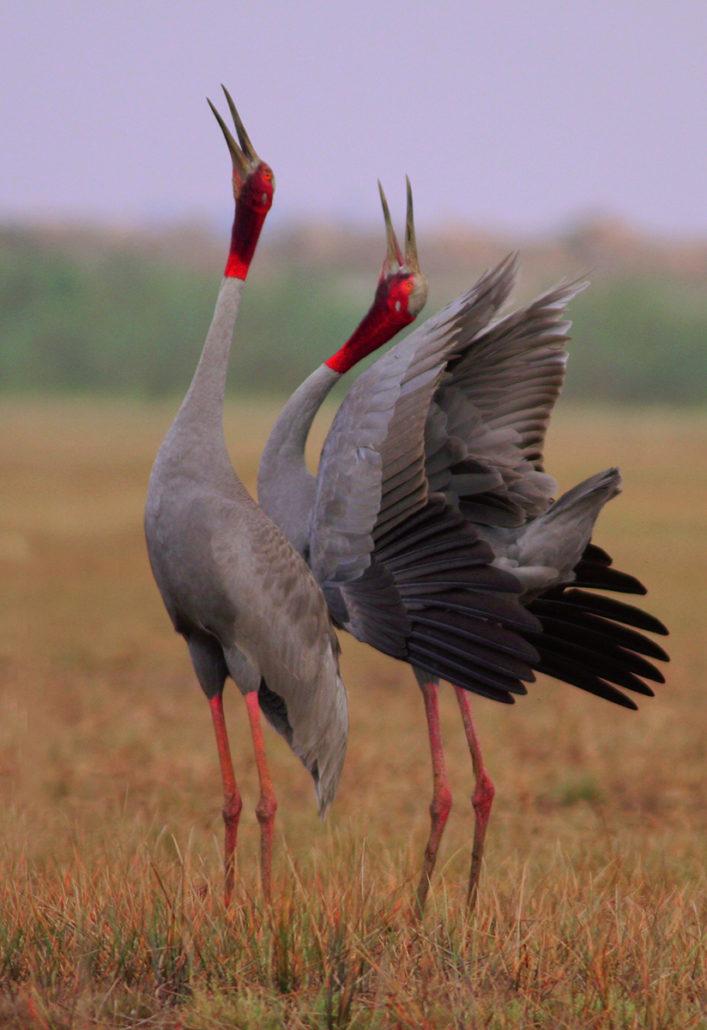 Sarus Cranes, Anlung Pring